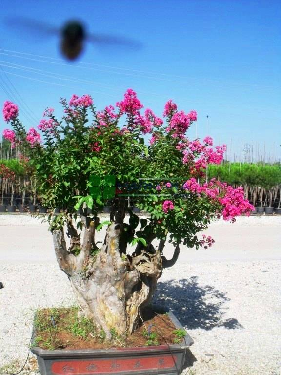 Crepe Myrtle Crape Myrtle Bonsai Lagerstroemia Indica Bonsai Lythraceae Sms Marmara Group