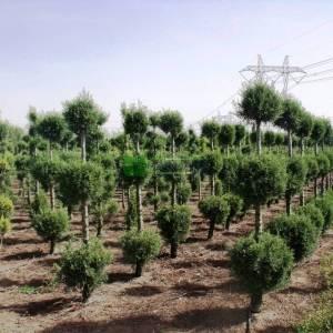 Arizona Cypress, Smooth Cypress 3 three balls
