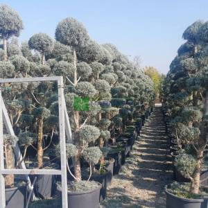 Arizona Cypress, Smooth Cypress multipom pom
