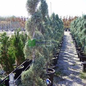 Arizona Cypress, Smooth Cypress spiralle