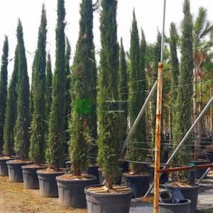 Akdeniz mezarlık servisi, Selvi, sütun formlu Servi, - Cupressus sempervirens totem/stricta (CUPRESSACEAE)