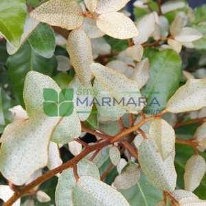 Yeşil yapraklı süs iğdesi - Elaeagnus x ebbingei (ELAEAGNACEAE)