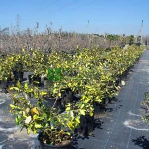 Alaca yapraklı süs iğdesi - Elaeagnus x ebbingei limelight (ELAEAGNACEAE)