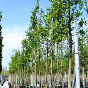 Kızaran avrupa taflanı, Yaprak döken taflan ağaç formlu - Euonymus alatus tige (CELASTRACEAE)