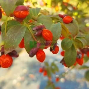 Kızaran avrupa taflanı, Yaprak döken taflan ağaç formlu,papaz külahı - Euonymus alatus (Euonymus europaeus) tige (CELASTRACEAE)