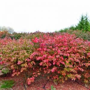 Kızaran avrupa taflanı, Kırmızı yapraklı yarı bodur avrupa taflanı - Euonymus alatus compacta (CELASTRACEAE)