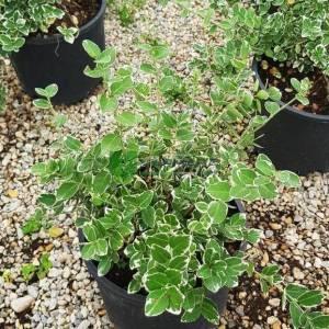 Gümüşi beyaz-yeşil yapraklı sürünücü taflan, sarmaşık sarılıcı taflan, - Euonymus fortunei emerald'n gaiety (CELASTRACEAE)