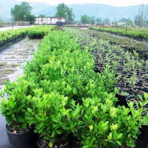 Yeşil yapraklı taflan - Euonymus japonicus (CELASTRACEAE)