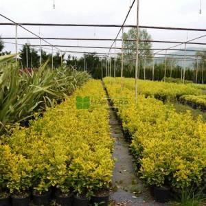 Altuni taflan, Gold taflan, Sarı yeşil taflan - Euonymus japonicus aureo marginatus (CELASTRACEAE)