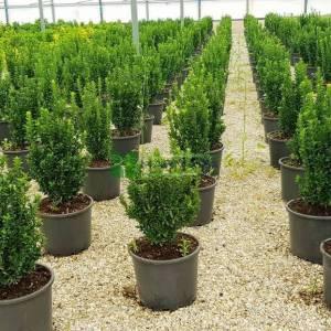 Minyatür yapraklı taflan, Sütun taflan, Şimşir yapraklı taflan - Euonymus japonicus greenspire (CELASTRACEAE)