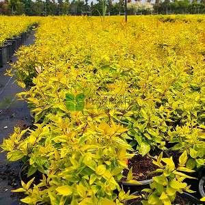 Altuni yapraklı güzellik çalısı,altuni abelya - Abelia x grandiflora kaleidoscope (CAPRIFOLIACEAE)