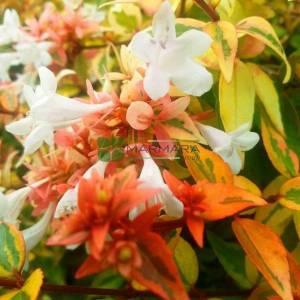 Altuni yapraklı Güzellik çalısı, abelya, Büyük çiçekli abelya, Büyük Çiçekli Kelebek Çalısı - Abelia x grandiflora kaleidoscope (CAPRIFOLIACEAE)