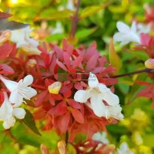 Altuni yapraklı Güzellik çalısı, abelya, Büyük çiçekli abelya, Büyük Çiçekli Kelebek Çalısı - Abelia grandiflora kaleidoscope (CAPRIFOLIACEAE)