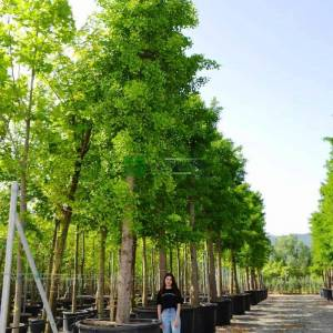 Sararan yapraklı Mabet ağacı, Beyin ağacı - Ginkgo biloba (GINKGOACEAE)