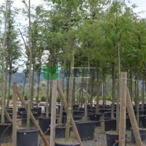 Gladiçya ağacı, Keçi boynuzu, Yalancı keçi boynuzu, Amerikan keçi boynuzu - Gleditsia triacanthos (LEGUMINOSAE)