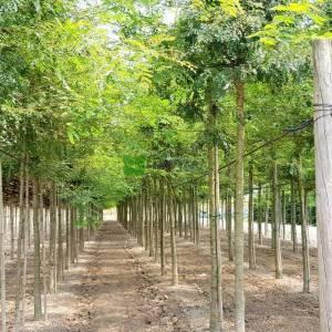 Dikensiz aşılı gladiçya ağacı,Keçi boynuzu, Yalancı keçi boynuzu, Amerikan keçi boynuzu - Gleditsia triacanthos inermis (LEGUMINOSAE)