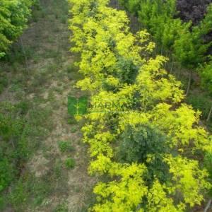 Aşılı sarı yapraklı gladiçya,Keçi boynuzu, Yalancı keçi boynuzu, Amerikan keçi boynuzu - Gleditsia triacanthos sunburst tige (LEGUMINOSAE)
