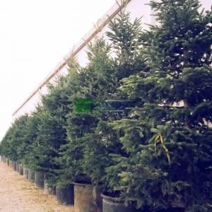 Uludağ Göknarı - Abies nordmanniana subsp. bornmuelleriana (PINACEAE)
