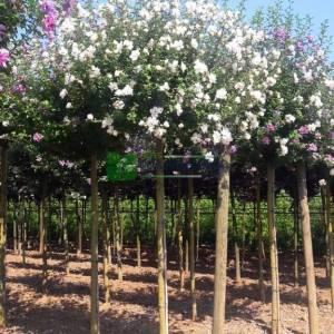 hatmi ağacı aşılı beyaz-kırmızı çiçekli, Ağaç hatmi - Hibiscus syriacus china chiffon bricutts (MALVACEAE)
