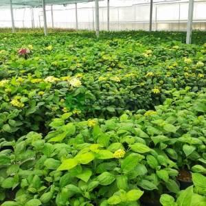 Ortanca çiçeği, Gölge bitkisi,fransız ortancası - Hydrangea macrophylla (HYDRANGEACEAE)