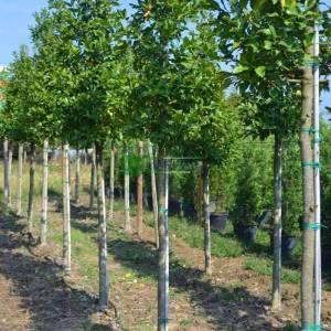 Kestane yapraklı çoban püskülü tijli ağaç formda - Ilex castaneifolia tige (AQUIFOLIACEAE)