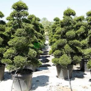 Bonsai formlu çoban püskülü, bonsai ilex, küçük yapraklı çoban püskülü - Ilex crenata kinme bonsai (AQUIFOLIACEAE)