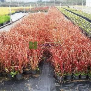 Kırmızı uçlu saz - Imperata cylindrica red baron (POACEAE)