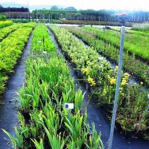 Geniş yapraklı süsen - Iris germanica (IRIDACEAE)