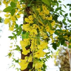 Sarı çiçekli Dağ sarı salkımı, Altın yağmuru çiçeği, Sarı akasya, - Laburnum anagyroides (LEGUMINOSAE)