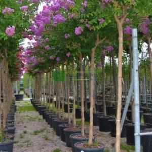 oya ağacı mor çiçekli , ispanyol leylağı, hint leylağı, amerikan oya, çin oya - Lagerstroemia indica purple tige (LYTHRACEAE)