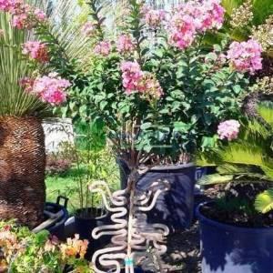 oya ağacı bonsai özel fromlu, ispanyol leylağı, hint leylağı, amerikan oya, çin oya - Lagerstroemia indica special shaped (LYTHRACEAE)