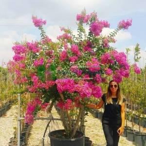 oya ağacı pembe çiçekli alttan dallı , ispanyol leylağı, hint leylağı, amerikan oya, çin oya - Lagerstroemia indica pink multi stem (LYTHRACEAE)