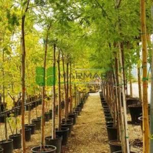 Sarı Akasya, Sarı çiçekli Mimoza, İzmir akasyası,gümüşi akasya - Acacia dealbata (FABACEAE)