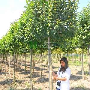 Japon Kurtbağrı - Ligustrum japonicum (OLEACEAE)