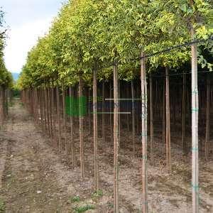 Alaca yapraklı japon kurtbağrı - Ligustrum japonicum excelsum superbum tige (OLEACEAE)
