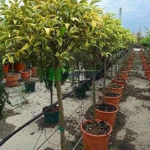 Alaca yapraklı japon kurtbağrı kısa tij - Ligustrum japonicum excelsum superbum half tige (OLEACEAE)