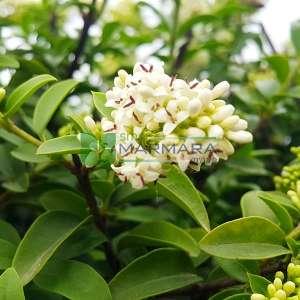 japon kurtbağrı küçük yapraklı şekilli - Ligustrum jonandrum 1 ball (OLEACEAE)