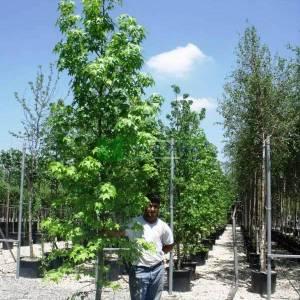 Amerikan küre çiçekli gün sığlası, Kızaran Amber ağacı - Liquidambar styraciflua pyramidale (ALTINGIACEAE)