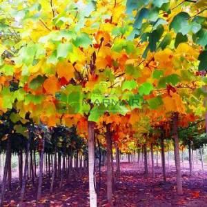 Amerikan lalesi, Çan ağacı, Titrek kavak, Sarı kavak - Liriodendron tulipifera tige (MAGNOLIACEAE)