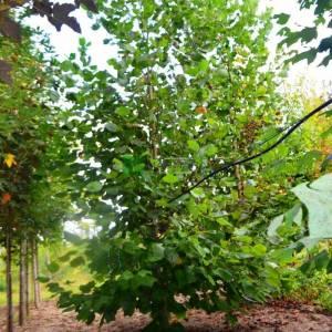 Amerikan lalesi, Çan ağacı, Titrek kavcak, Sarı kavak piramit formlu - Liriodendron tulipifera pyramidale (MAGNOLIACEAE)