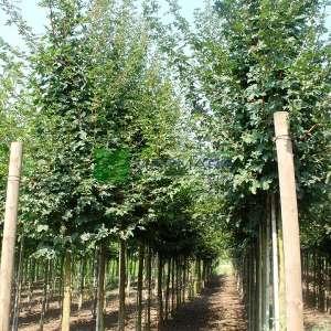 Ova akçaağacı - Acer campestre (ACERACEA)
