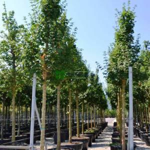 Ova akçaağacı - Acer campestre elsrijk (ACERACEA)
