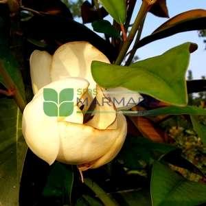 Piramit formlu yaprak dökmeyen beyaz çiçekli manolya fidanı, Herdaim yeşil manolya - Magnolia grandiflora gallisoniensis pyramidale (MAGNOLIACEAE)