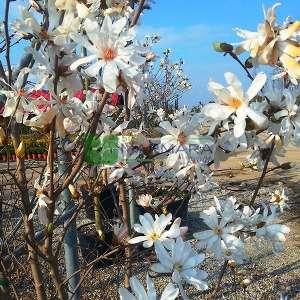 Yıldız çiçekli saray manolyası, Yaprak döken manolya,Japon manolyası - Magnolia stellata multi stem (MAGNOLIACEAE)