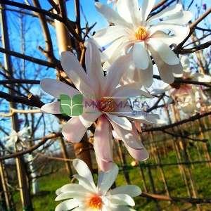 Yıldız çiçekli saray manolyası, Yaprak döken manolya,japon manolyası,İlkbahar manolyası - Magnolia stellata tige (MAGNOLIACEAE)
