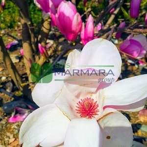 Aşılı saray manolyası ağacı, Yaprak döken manolya - Magnolia x lennei multi stem (MAGNOLIACEAE)