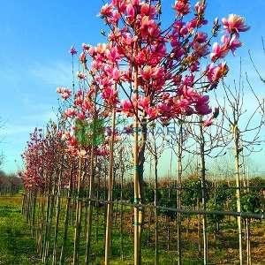 Aşılı saray manolyası ağacı, Yaprak döken manolya - Magnolia x lennei tige (MAGNOLIACEAE)