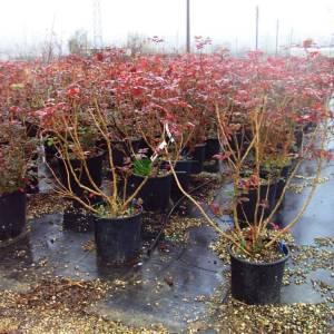 Amerikan sarıboya çalısı, Oreogon asması - Mahonia aquifolium (BERBERIDACEAE)