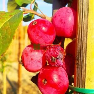 Armut Yapraklı Çiçek Elması, erik yapraklı elma, yaygın yapraklı yengeç elması - Malus prunifolia (ROSACEAE)