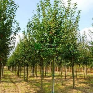 Japon süs elması, Çiçek elması, yengeç elması - Malus evereste (ROSACEAE)